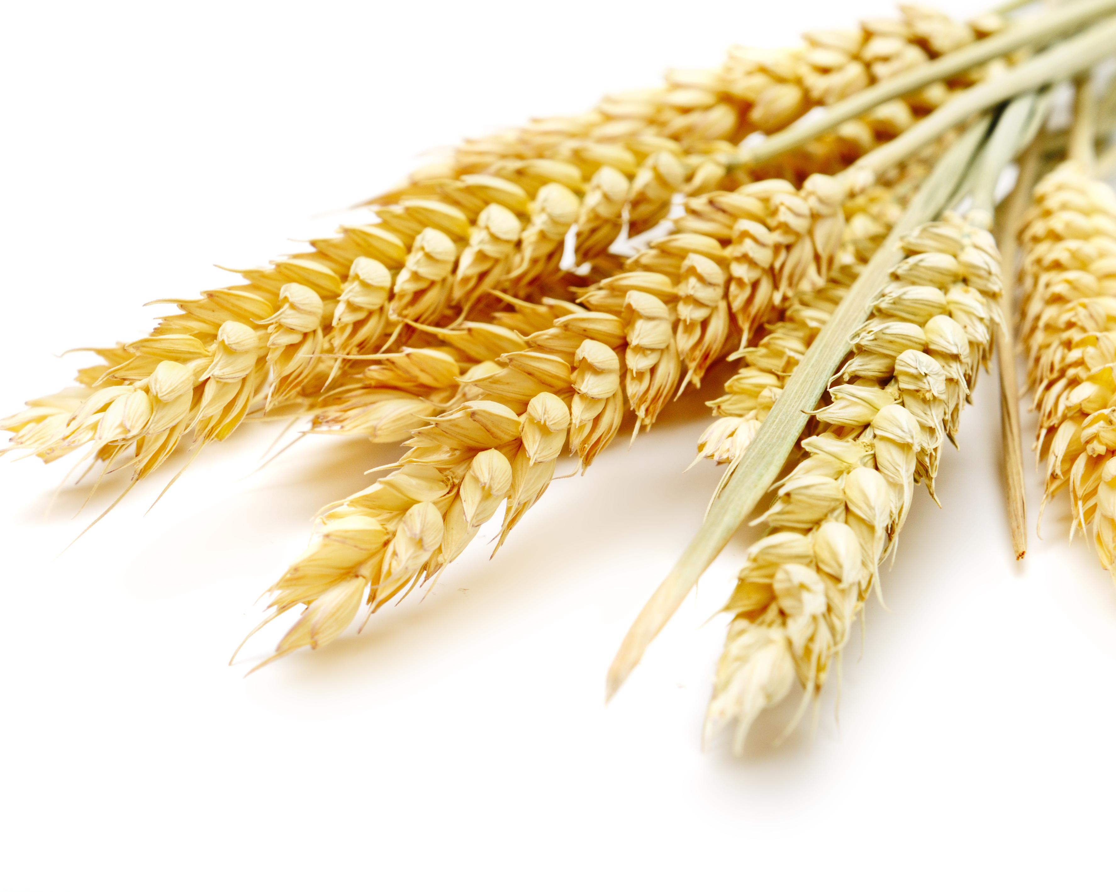 FAS USDA: РФ опередит США поэкспорту пшеницы