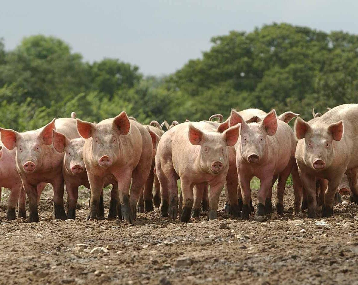 ВЧехии впервый раз обнаружили африканскую чуму свиней
