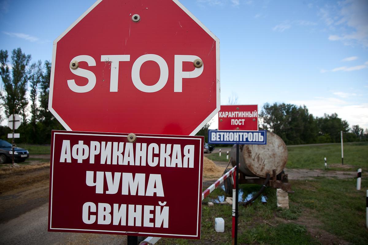 Из-за африканской чумы свиней введён карантин вОмском районе