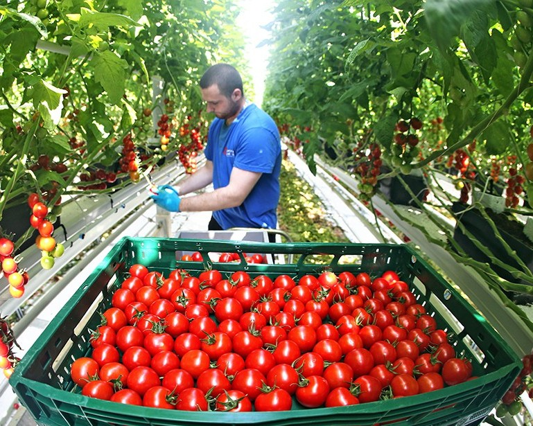 Татарстан вошел впятерку крупнейших поставщиков тепличных овощей в РФ