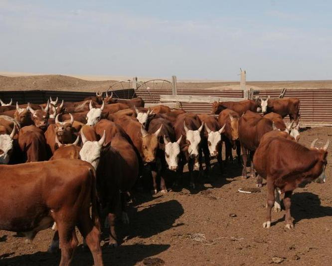 ВВоронежской области началось строительство молочного комплекса на1,2 тыс. голов