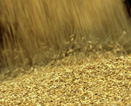 С воронежских полей собрали более 2 миллионов тонн зерна