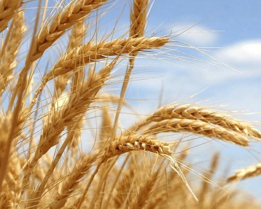 Прогнозы урожая пшеницы иканолы снижены— Австралия