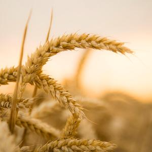The conjuncture of the Russian grain market: dynamics of grain prices, the export of the beginning of October