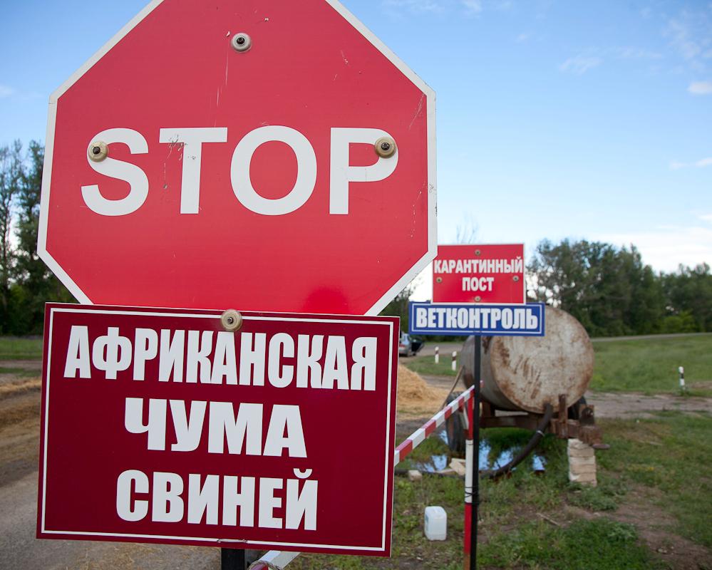 Вспышка африканской чумы свиней зафиксирована вНижегородской области