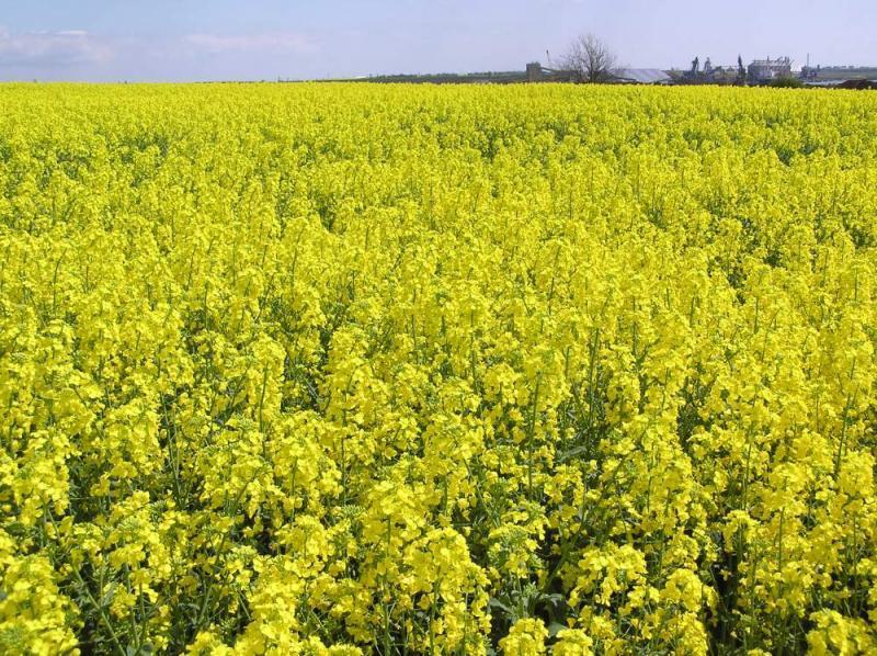 Выращивание ярового рапса в украине 5