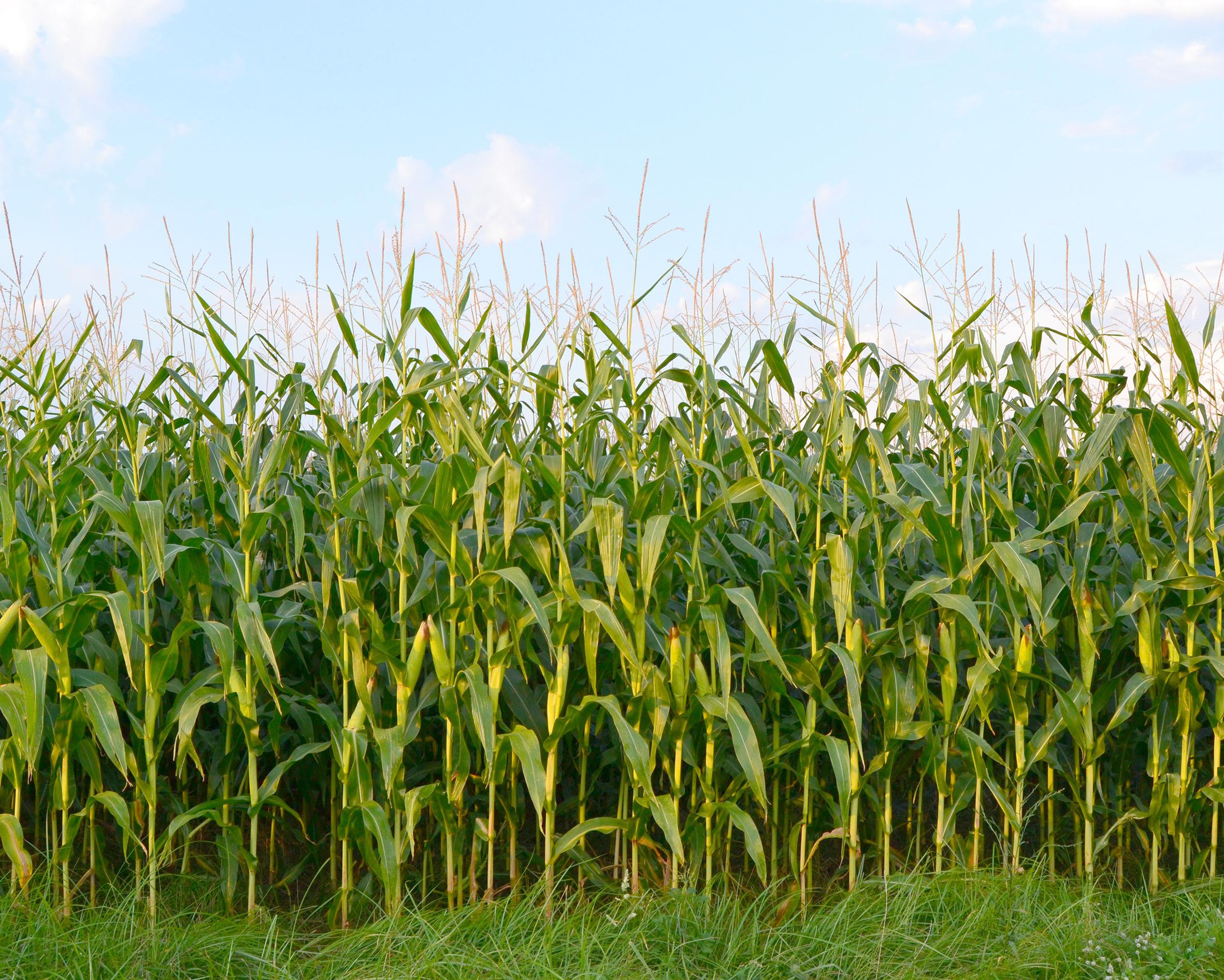 Как сажают кукурузу в поле 819