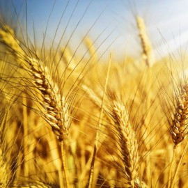 Conjuncture of the grain market of Russia: first results from the beginning of 2017