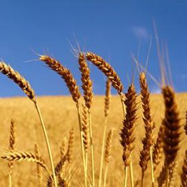 Мировой рынок зерновых культур: тенденции недели